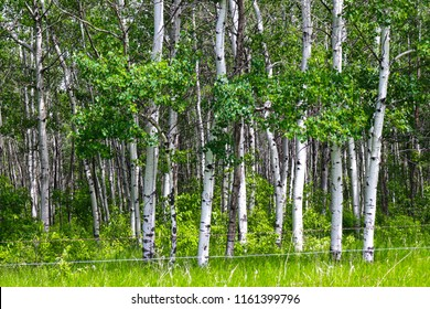 Forest of birch trees on a sunny afternoon; nature landscape background