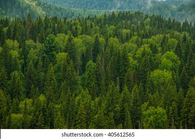 forest with a bird's eye view . coniferous trees, thickets of green forest
