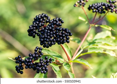 Forest black elderberry, shrub with berries