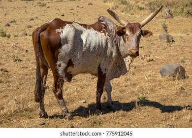Forest Bull, also Ethiopian Bull and Ethiopian Forest Bull, is an animal from Medieval bestiaries