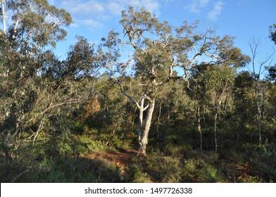 Forest and bush, landscape with eucalyptus trees and grass trees, xanthorrhoea, on the  Whistlepipe Gully Walk, Mundy Regional Park, Kalamunda, Western Australia, Australia