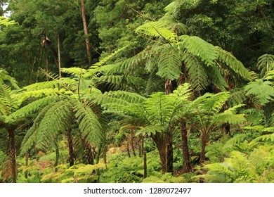 Forest in Caldeira Velha, north slope of the Fogo Volcano, Sao Miguel Island, Azores, Portugal