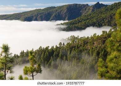Forest of Canary Island pine Pinus canariensis and sea of clouds. Las Nieves Natural Park. Santa Cruz de La Palma. La Palma. Canary Islands. Spain.
