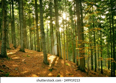 Forest in the Carpathian mountains