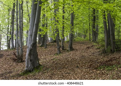 Forest in the Carpathians