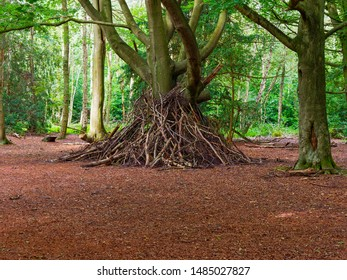 In a forest clearing aropund the trunk of a Beech tree a large den has been built from fallen tree branches