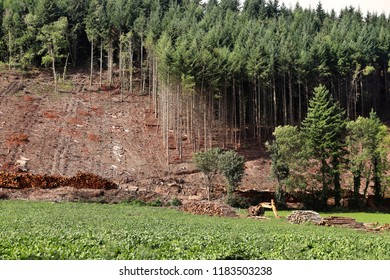 Forest clearing on a Welsh Mountainside with piles of pine timber