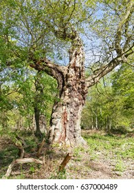 In a forest clearing a tall ancient oak tree with branches reaching out stands in bright sunlight.
