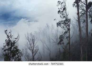 Forest in the clouds,Madeira relict forest recovers after a fire