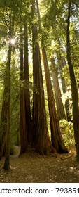 Forest of Coastal Redwoods, the tallest trees on earth, taken in California