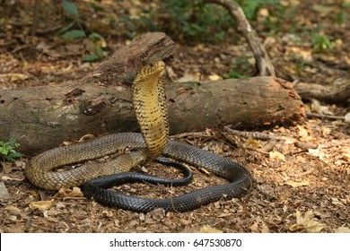 Forest Cobra looking awesome!