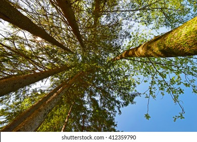 Forest, the crown of tree,  trunks of trees heavenward into the sky. Look up crown trees in the forest background.
