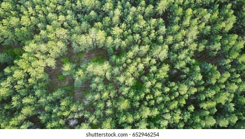 forest deciduous and coniferous. top of trees. green. nature. Clean Air.