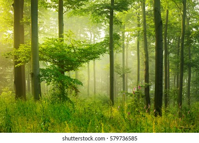 Forest of Deciduous Trees Illuminated by Sunbeams through Fog