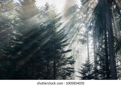 Forest in dense fog