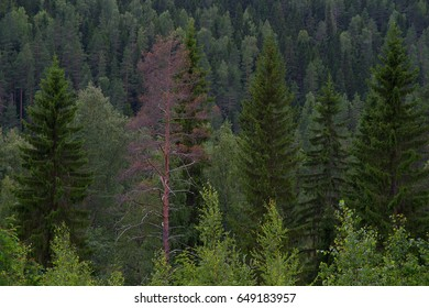 Forest with dry tree in foreground. Pine green forest with red dry pine