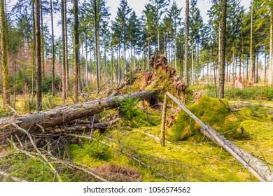 Forest during sunrise in Westerbork in Drenthe with storm damage and fallen mature Douglas fir trees with green moss covered ground and large trunks and root clumps