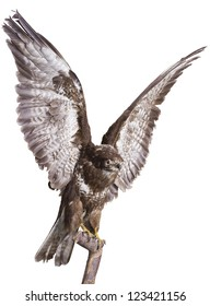 Forest eagle - predatory bird hunting falcon flies from branch. Isolated with path