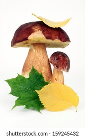 Forest edible mushrooms with autumn leaves on a white background
