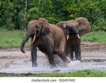 Forest elephants playing with each other. Central African Republic. Republic of Congo. Dzanga-Sangha Special Reserve. An excellent illustration.