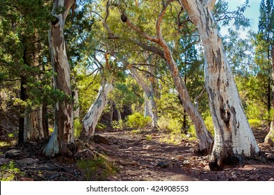A forest of Eucalyptus form an arch along a dry creek bed.