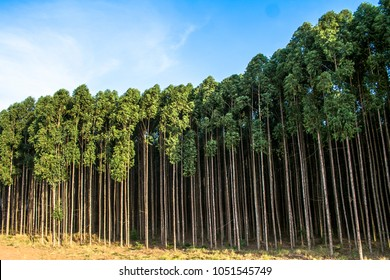 Forest of eucalyptus tree in Sao Paulo state, Brazil
