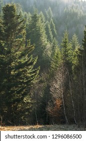 Forest of European silver fir (Abies alba) in the Carpathian Mountains in the back light