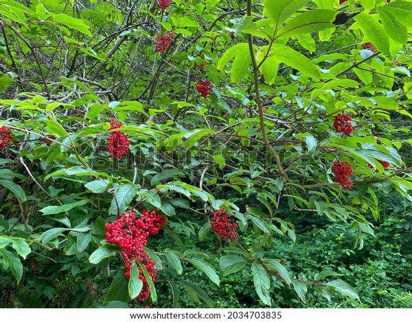 a forest evergreen lush foliage trees bushes with bright red berry berries wet from rain mist fog