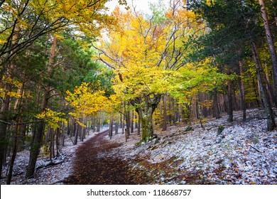 Forest in the fall. Hayedo de Tejera Negra in Guadalajara, Spain