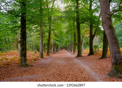 Forest with fallen leafs in autumn, Netherlands