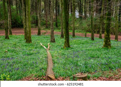 Forest with a fallen tree and a carpet of Bluebells