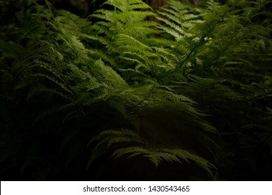 Forest fern illuminated from above by sunlight