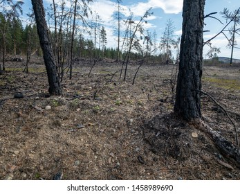 Forest fire aftermath with burnt tree trunk. Field with ashes after a wildfire.
