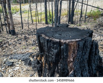 Forest fire aftermath with burnt trees. Field with ashes after a wildfire. Burned stump closeup.