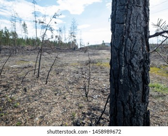 Forest fire aftermath with burnt trees. Field with ashes after a wildfire. Tree trunk closeup.