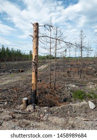 Forest fire aftermath with burnt trees. Field with ashes after a wildfire