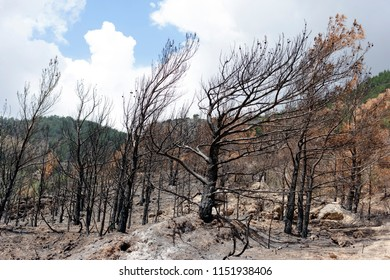 Forest fire, burned trees and land, seaside