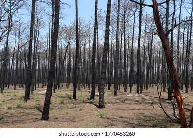 Forest fire damage. Burned down forest in Portugal, near Aveiro. Dead charred trees after wildfire.