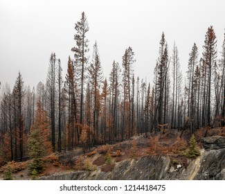 Forest fire snags in Kootenay National Park