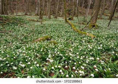forest floor covered by spring snowflakes (german Märzenbecher, lat. Leucojum vernum) in Switzerland