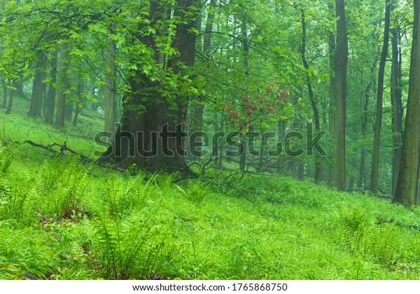 Forest floor with ferns and foggy mood in the beech forest