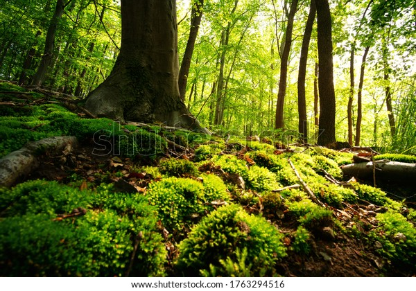 Forest floor with lush green moss in early morning sunshine
