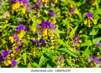 Forest flowers of cow wheat or cowwheat (Melampyrum nemorosum). Picturesque peaceful nook away from the urban noise and hustle. Wild nature of Russia. Beautiful purple and yellow flowers on grass