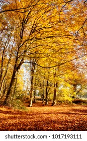 Forest in full autumn colour. Woodland floor covered in bright orange fall leaves and morning sunlight bursting through the trees