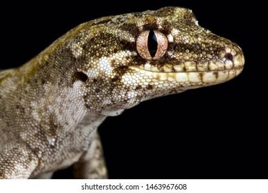 The Forest gecko (Mokopirirakau granulatus)