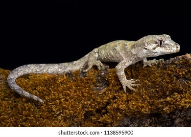 The forest gecko (Mokopirirakau granulatus) is a species of gecko. Granulatus refers to the granular texture of the skin. It is endemic to New Zealand.