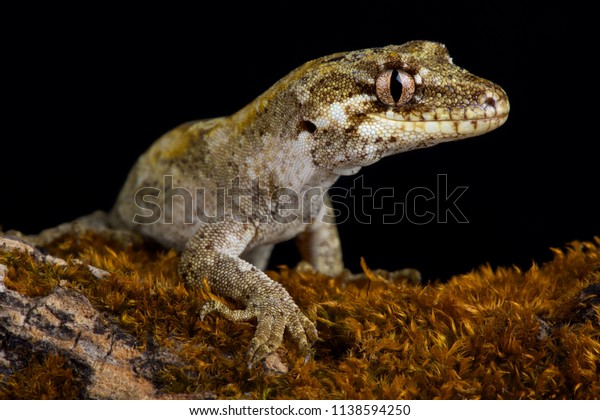 The forest gecko (Mokopirirakau granulatus) is a species of gecko. Granulatus refers to the granular texture of the skin It is endemic to New Zealand.