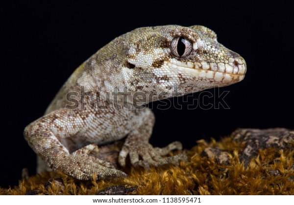 The forest gecko (Mokopirirakau granulatus) is a species of gecko. Granulatus refers to the granular texture of the skin. It is endemic to New Zealand,