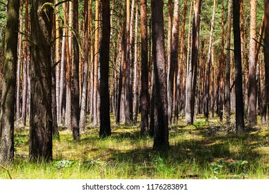 Forest in Germany, Pine Tree Plantation
