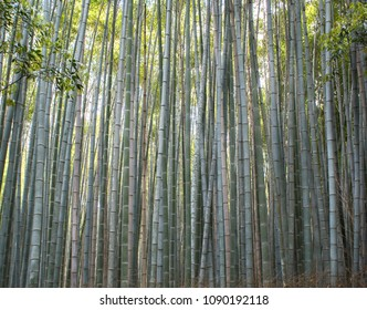 a forest of giant bamboo